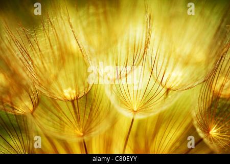 Les pissenlits, fleurs, gros plan extrême résumé printemps nature background Banque D'Images