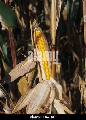 Le maïs mûr exposé s/n à la récolte des cultures fourragères sur Banque D'Images