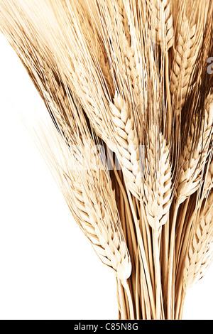 Bouquet de blé frontière, isolé sur fond blanc, gros plan sur l'automne venu, la récolte des plantes concept Banque D'Images