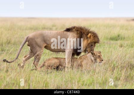Les Lions d'accouplement, Masai Mara National Reserve, Kenya Banque D'Images