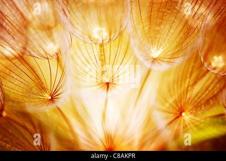 Pissenlit fleur douce, gros plan extrême, résumé printemps nature background Banque D'Images