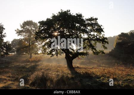 Tôt le matin, la brume s'élevant du plancher de bois à l'automne UK Banque D'Images