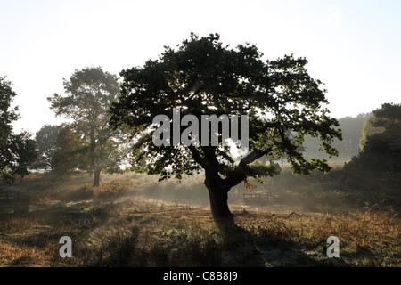 Le bois de chêne avec brouillard s'élevant du sol en automne UK Banque D'Images