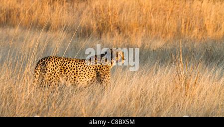 Cheetah dans le parc national de Hwange, Zimbabwe Banque D'Images