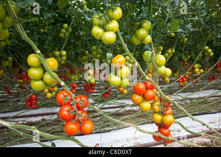 En Bretagne, une culture intensive de la tomate (Solanum lycopersicum) sous serre. Une production hors-sol des plantes.