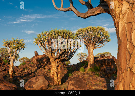 Quiver Tree Forest, L'Aloe dichotoma, ferme Garas, Mesosaurus Fossil Site, Keetmanshoop, Namibie, Afrique Banque D'Images