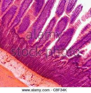 Image microscopique en 100X d'un intestin grêle montrant les villosités. Banque D'Images
