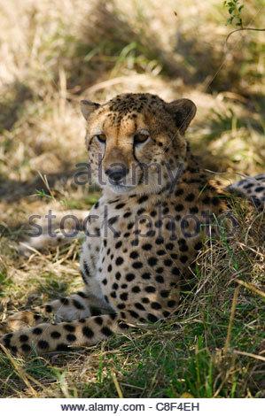 Le guépard, Acinonyx jubatus, dans la grande Mara, Kenya. Banque D'Images