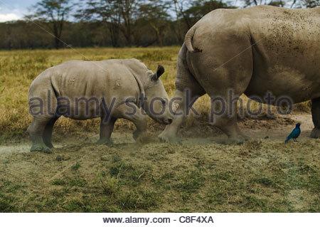 Rhinocéros blanc, Ceratotherium simum, mère et bébé, au Kenya. Banque D'Images