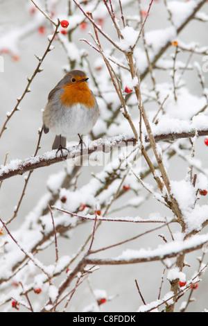Robin (Erithacus rubecula aux abords, aux fruits rouges dans la neige, Royaume-Uni Banque D'Images