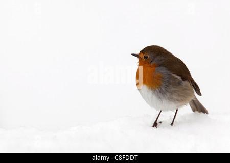 Robin (Erithacus rubecula aux abords, dans la neige, Royaume-Uni Banque D'Images