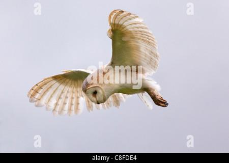 Effraie des clochers (Tyto alba) en vol, en captivité, Cumbria, Angleterre, Royaume-Uni Banque D'Images