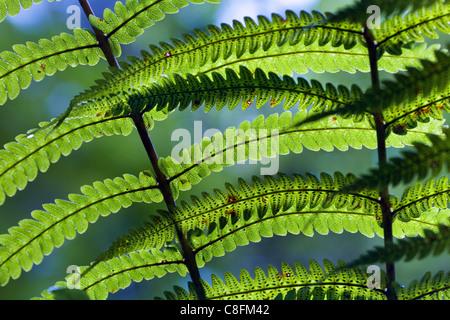 Fougère vert feuille, Nouvelle-Zélande Banque D'Images