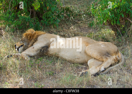 Male lion (Panthera leo) de dormir dans le shaddows Banque D'Images
