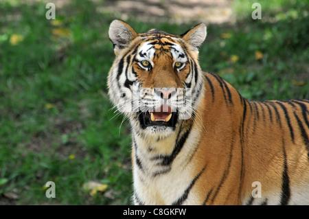 Portrait de Tigre avec de l'arrière-plan Banque D'Images