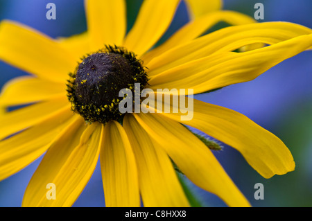 Close-up of black-eyed Susan Banque D'Images