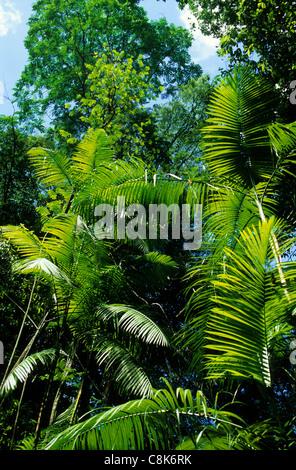 Amazonie, Brésil. Les jeunes feuilles vertes de la palm palmito dans une clairière ensoleillée dans la forêt.