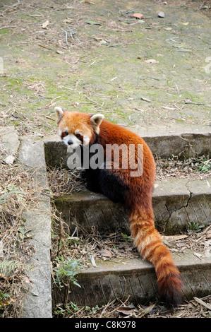 Le panda rouge (Ailurus fulgens ou shining-CAT), un petit mammifère arboricole originaire de l'Est de l'Himalaya Banque D'Images