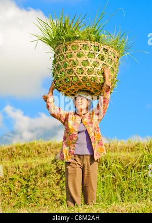 Agriculteur balinais jatiluwih - terrasse de riz, Bali, Indonésie Banque D'Images