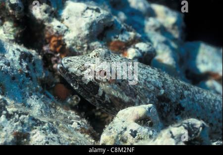 Lizardfish lizardfish rouge - Diamond (Synodus synodus) cachées entre les rochers en bas Banque D'Images