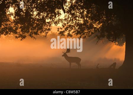 Le daim, Dama dama buck silhouette dans la lumière du matin