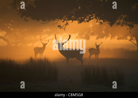 Trois daims mâles, Dama dama dans la brume matinale Banque D'Images