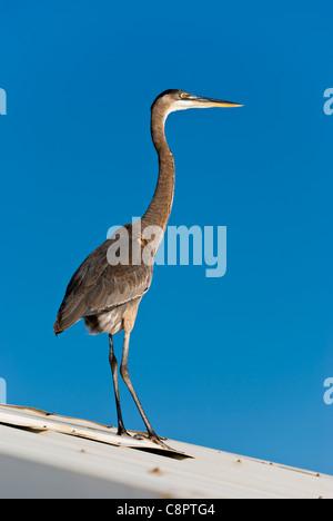 Un grand heron perché sur le toit d'une maison Banque D'Images