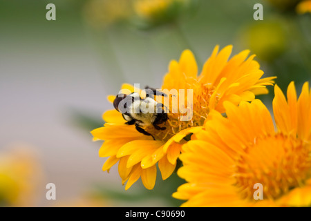 Abeille- Apis mellifera - la collecte du pollen Banque D'Images