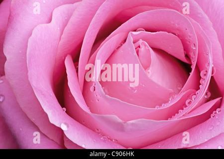 Rose rose avec des gouttes d'eau Banque D'Images
