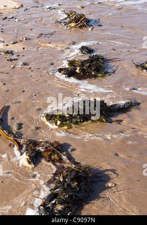 Northumberland - Spittal beach, au sud de Berwick-on-Tweed, ville de bord de mer. Les algues échouées sur la marée. Banque D'Images