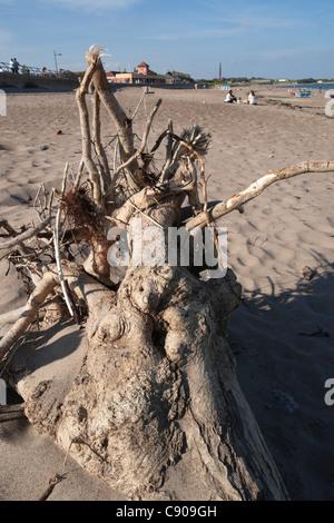 Northumberland - Spittal beach, au sud de Berwick-on-Tweed, ville de bord de mer. Driftwood de la rivière Tweed. Banque D'Images