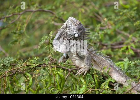 Les Pays-Bas, l'île de Bonaire, Antilles néerlandaises, Kralendijk, Green Iguana Iguana iguana ( ).