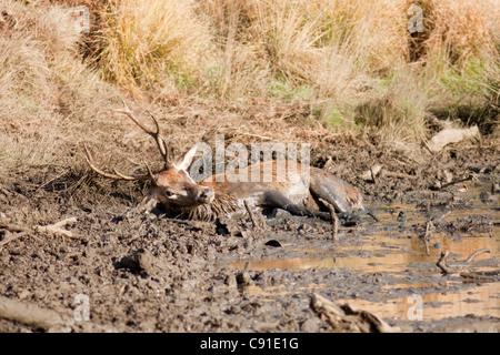 Red Deer stag roulant dans la boue, Curvus elaphus, Richmond Park, automne/fall, Surrey, England, UK Banque D'Images