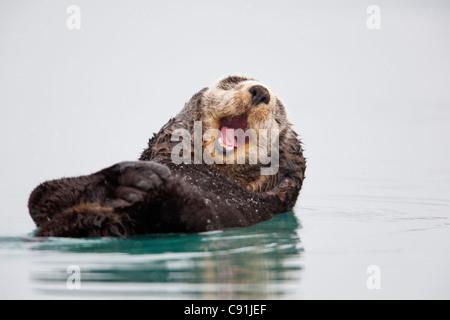 Loutre de mer qui flotte sur l'arrière de la tête et de se gratter le bâillement, Prince William Sound, Southcentral Banque D'Images