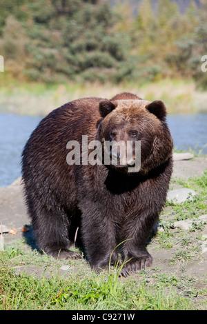 Fermer la vue d'un ours brun debout à l'Alaska Wildlife Conservation Center près de Portage, en Alaska, l'été, captive Banque D'Images