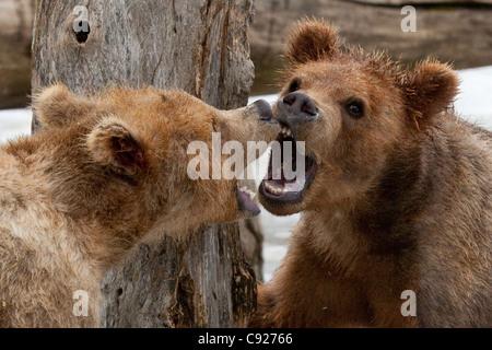 En captivité en captivité: paire de petits ours brun kodiak growl les uns les autres avec des dents et bouche ouverte Banque D'Images