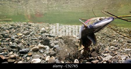 Sous l'eau d'une femelle de saumon rouge son excavation redd tandis qu'un des gardiens de sexe masculin, l'alimentation, Delta de la rivière Copper Creek, Alaska