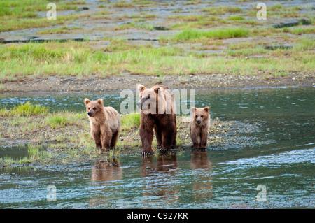 Brown Bear sow marche à travers un flux avec son printemps d'oursons dans Chinitna Bay, Lake Clark National Park, Banque D'Images
