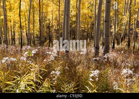 La lumière du soleil qui brillait à travers grove de peupliers de jaune à l'automne sur prairie de hautes herbes Banque D'Images
