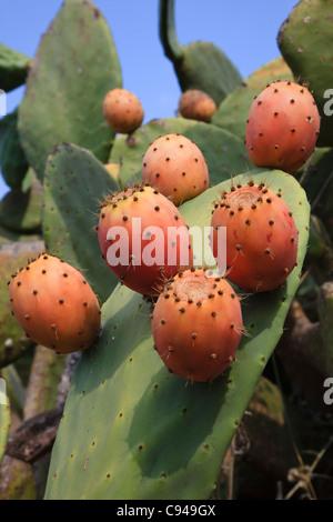 Fruits de l'oponce de l'Est, poussent à l'état sauvage, Corfou, Grèce