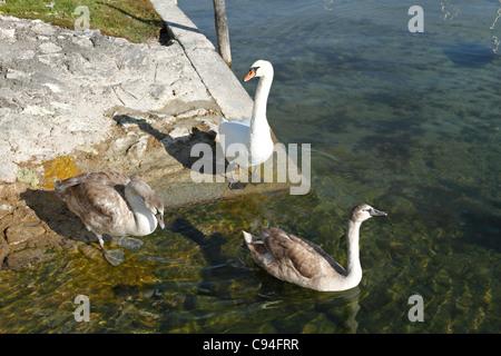 White Swan avec jeunes adultes ( Cygnus olor ), Chiemgau Haute-bavière Allemagne