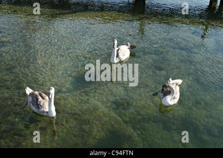 3 Les jeunes cygnes blancs ( Cygnus olor ), Chiemgau Haute-bavière Allemagne