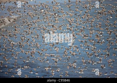 Un troupeau de rivage à Punta Chame, la côte Pacifique, la province de Panama, République du Panama. Banque D'Images
