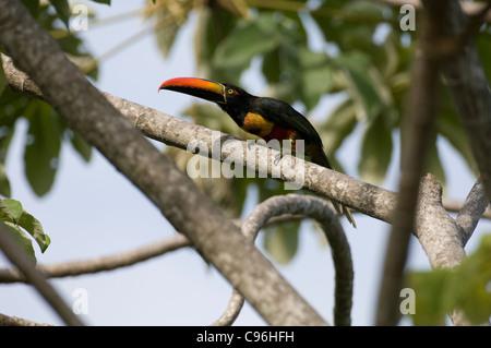 L'Amérique centrale, le Costa Rica, Toucan perché dans l'arbre. Banque D'Images