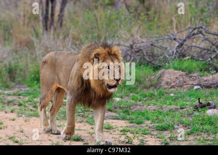 Un mâle adulte 'lion Panthera leo' dans son premier sur le vagabondage dans le Parc National Kruger en Afrique du Banque D'Images