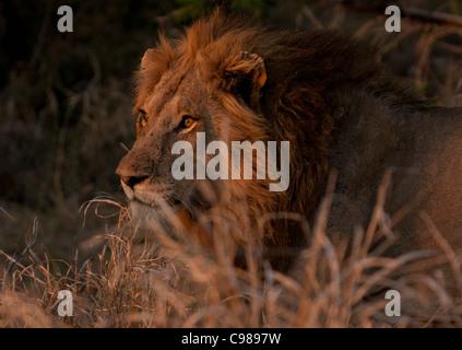 Portrait serré d'un lion à crinière noire dans la lumière chaude
