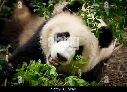 Le Panda Géant, Ailuropoda melanoleuca Panda et centre de recherche de reproduction, Chengdu, Chine République populaire Banque D'Images