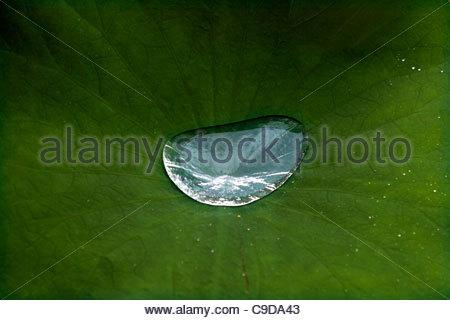 Goutte d'eau sur feuille de lotus Banque D'Images