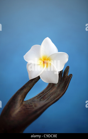 Main tenant une fleur de frangipanier Banque D'Images