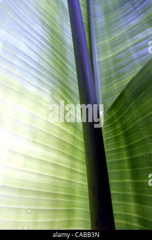 Juin 03, 2004; Los Angeles, CA, USA; plante banane. Banque D'Images